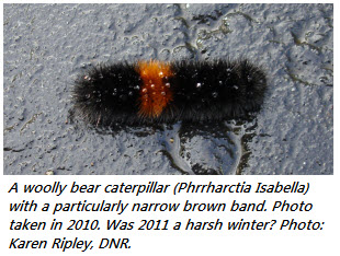 woollybear narrow 2010 cropped