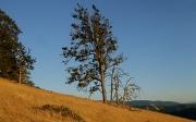 Figure 2. Infected Oregon white oak in       Klickitat County.
