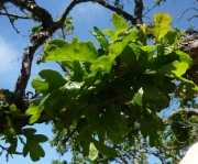 Figure 3. Late-expanding and clumping leaves on damaged branches. Photo: A. Ramsey, DNR.