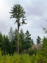 Legacy tree - Crystal Lake Tree Farm SnohomishCo - KBevis