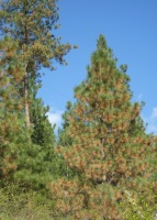 Symptoms of Pine Needle Cast in a ponderosa pine.  Notice the red, dead needles on the two-year old foliage.  Photo: A. Walker.