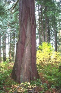 Cedar tree used for bark harvest.  Note the scarring at the top of the photo.