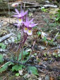 Calypso orchid. Photo: K. Bevis.