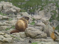 Yellow bellied marmot. Photo: K. Bevis.