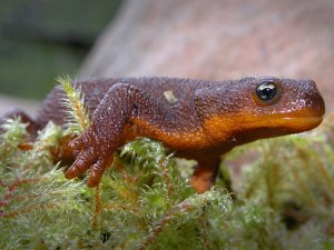 Rough-skinned newt.
