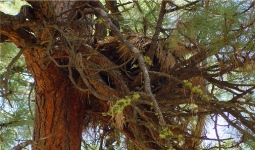 Western gray squirrel nest