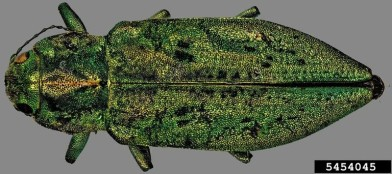 Adult western cedar borer.  Photo: S. Valley