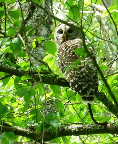 Barred owl with garter snake.