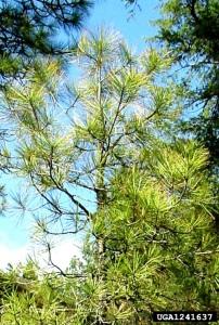 This sapling exhibits symptoms of chronic drought;