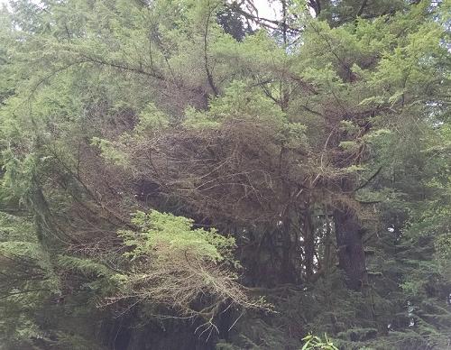 Drought damage to hemlock tree.