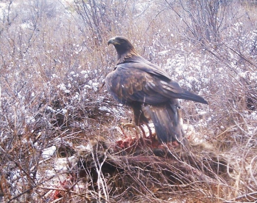 Golden eagle on deer carcass