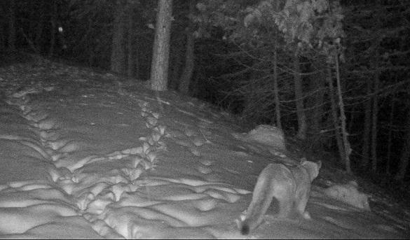 Cougar near Winthrop, WA,