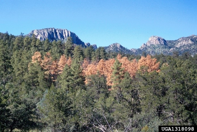 ponderosa pine killed by western pine beetle