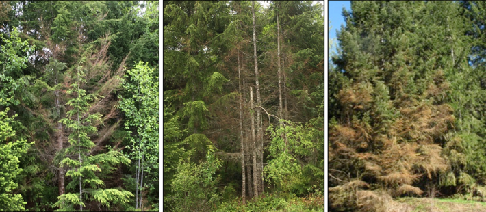 Western hemlock defoliation and mortality
