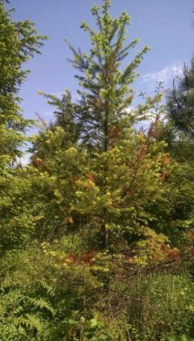 Tip dieback in Douglas-fir.