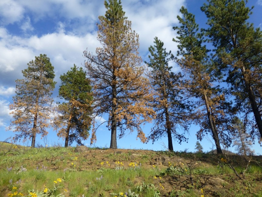 Pine trees survive, but with scorched lower limbs, after a low-intensity fire in the Methow Valley.