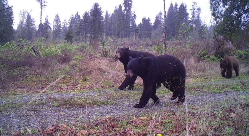 "Three bears go through Dave New's Snohomish County property. He calls the photo ""Desperately Seeking Goldilocks."""