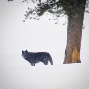 yellowstone wolf teri j pieper