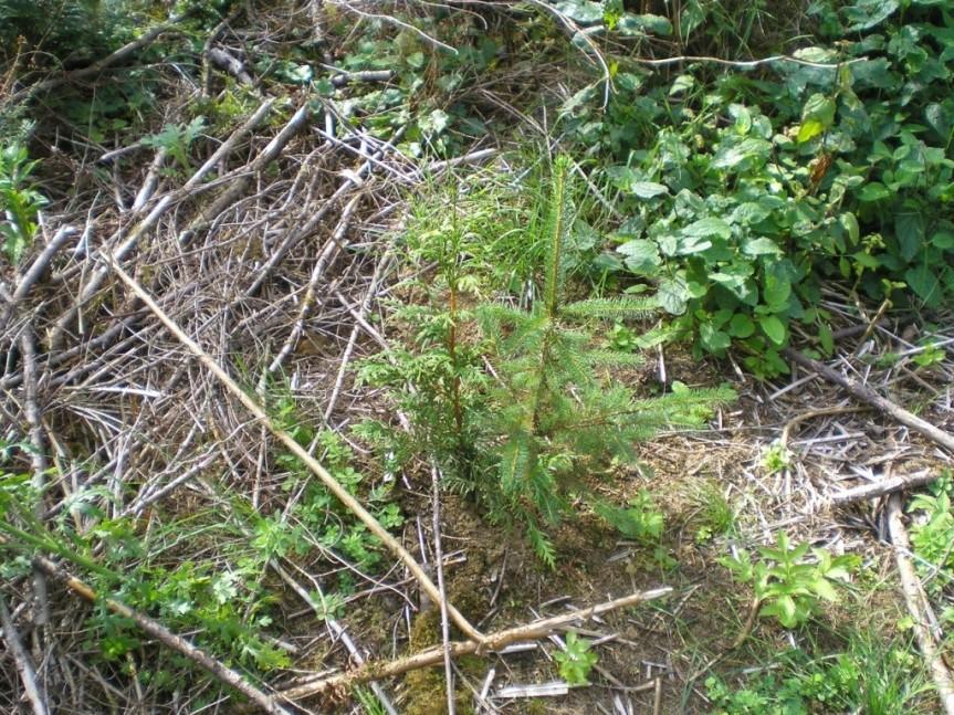 Sitka Spruce Can Shepherd Your Cedars TowardMaturity