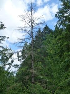 doug fir drought kill ken bevis