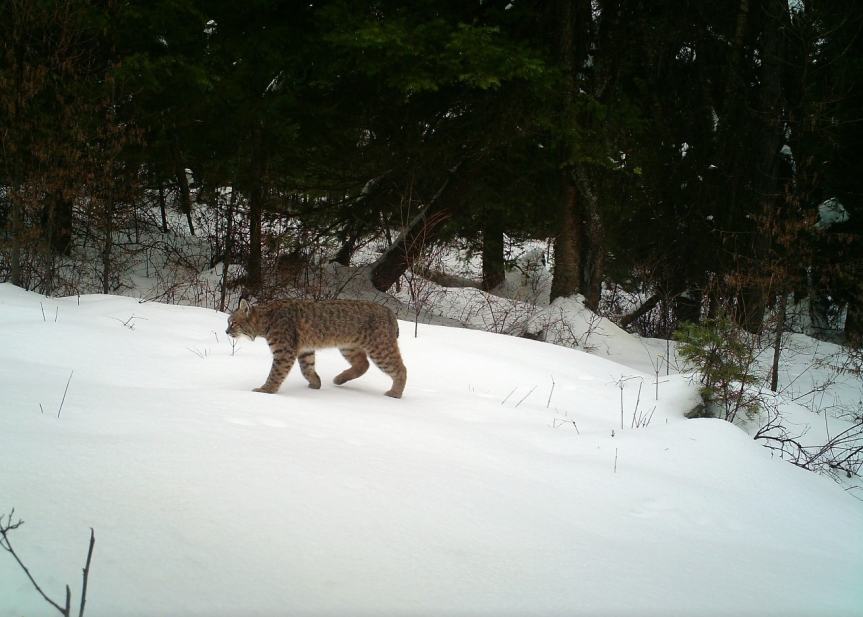 trail camera bobcat