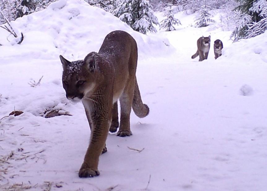 trail camera cougars