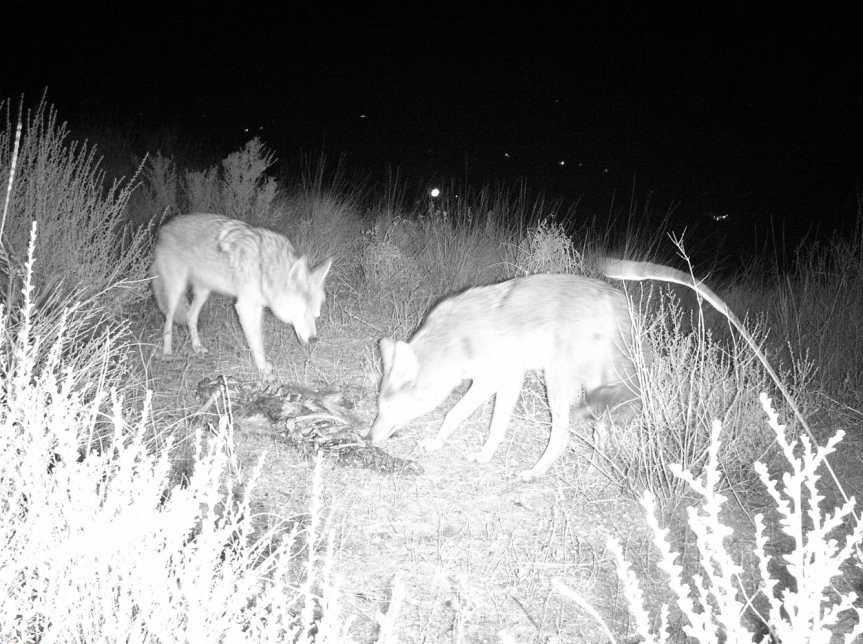 trail camera coyotes