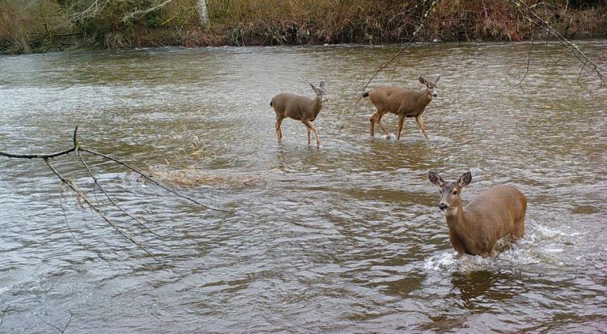 trail camera deer