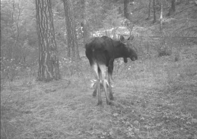 trail camera moose