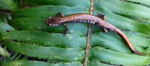 salamander 5