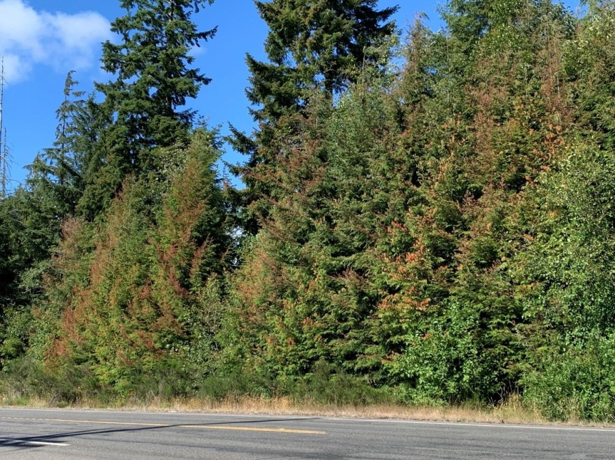 Drought and Tree Mortality in Washington's Conifers